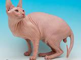 Кошки, котята Спаривание, цена 1500 Грн., Фото