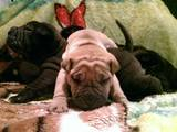 Собаки, щенки Шарпей, цена 2000 Грн., Фото