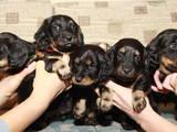 Собаки, щенки Длинношерстная такса, цена 1500 Грн., Фото