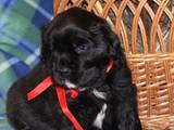 Собаки, щенки Ньюфаундленд, цена 10500 Грн., Фото