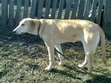 Собаки, щенята Російський хорт, ціна 10 Грн., Фото