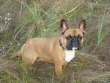 Собаки, щенки Французский бульдог, цена 1000 Грн., Фото