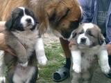 Собаки, щенки Московская сторожевая, цена 1000 Грн., Фото