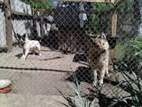 Собаки, щенки Восточно-Сибирская лайка, цена 3000 Грн., Фото