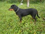 Собаки, щенята Баварський гончак, ціна 8000 Грн., Фото