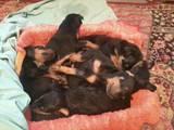 Собаки, щенки Доберман, цена 800 Грн., Фото