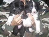 Собаки, щенята Східно-сибірська лайка, ціна 500 Грн., Фото