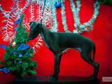 Собаки, щенки Левретка, цена 4000 Грн., Фото