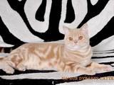 Кошки, котята Британская короткошерстная, цена 1200 Грн., Фото