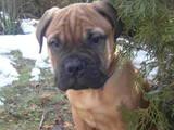 Собаки, щенки Бульмастиф, цена 6500 Грн., Фото