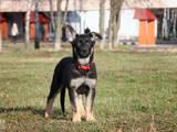 Собаки, щенята Східно-Європейська вівчарка, ціна 4000 Грн., Фото