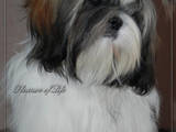 Собаки, щенята Ши-тцу, ціна 6000 Грн., Фото