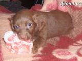Собаки, щенята Англійський коккер, ціна 300 Грн., Фото