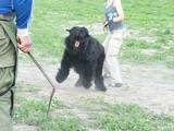 Собаки, щенки Черный терьер, цена 6500 Грн., Фото