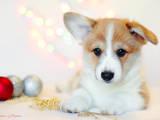 Собаки, щенки Вельш корги пемброк, цена 15500 Грн., Фото