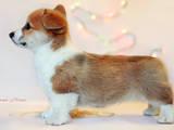 Собаки, щенята Вельш коргі пемброк, ціна 15500 Грн., Фото