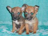 Собаки, щенята Російський гладкошерстий тойтерьер, ціна 800 Грн., Фото