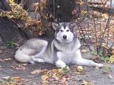 Собаки, щенки Аляскинский маламут, цена 6000 Грн., Фото
