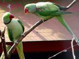 Папуги й птахи Папуги, ціна 6000 Грн., Фото