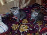 Кошки, котята Хайленд Фолд, цена 1500 Грн., Фото