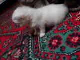 Кошки, котята Колор-пойнт короткошерстный, цена 1300 Грн., Фото