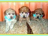 Собаки, щенята Карликовий пудель, ціна 1500 Грн., Фото