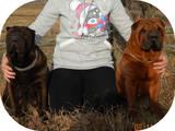 Собаки, щенята Шарпей, ціна 2000 Грн., Фото