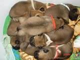 Собаки, щенята Бульмастиф, ціна 2000 Грн., Фото