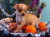 Собаки, щенята Чихуа-хуа, ціна 3200 Грн., Фото