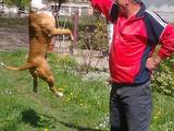 Собаки, щенята Американський стаффордширський тер'єр, Фото