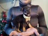 Собаки, щенята Російський гладкошерстий тойтерьер, ціна 1600 Грн., Фото