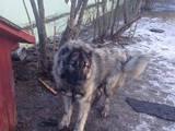 Собаки, щенята Кавказька вівчарка, ціна 100 Грн., Фото