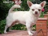 Собаки, щенята Англійський коккер, ціна 3500 Грн., Фото