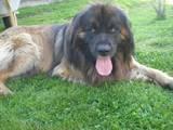 Собаки, щенята Леонбергер, Фото