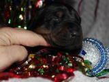 Собаки, щенки Доберман, цена 4500 Грн., Фото