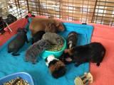 Гризуни Морські свинки, ціна 500 Грн., Фото