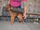 Собаки, щенки Русский длинношерстный тойтерьер, цена 9000 Грн., Фото