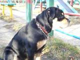 Собаки, щенята Мальоркскій бульдог (Ка Де Бо), ціна 5000 Грн., Фото