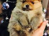 Собаки, щенята Померанський шпіц, ціна 13000 Грн., Фото