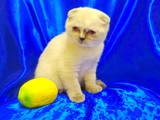 Кішки, кошенята Шиншила, ціна 2000 Грн., Фото