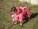 Собаки, щенята Китайська чубата собака, ціна 2000 Грн., Фото