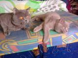 Кошки, котята Британская короткошерстная, цена 900 Грн., Фото