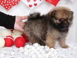 Собаки, щенята Померанський шпіц, ціна 9000 Грн., Фото