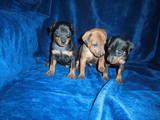 Собаки, щенята Карликовий пінчер, ціна 8000 Грн., Фото