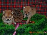 Собаки, щенки Карликовый шпиц, цена 2000 Грн., Фото