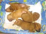 Собаки, щенки Шарпей, цена 500 Грн., Фото