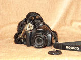 Собаки, щенята Американський коккер, ціна 2300 Грн., Фото