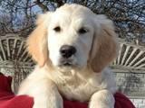 Собаки, щенята Золотистий ретрівер, ціна 7500 Грн., Фото