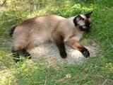 Кошки, котята Меконгский бобтейл, цена 2000 Грн., Фото