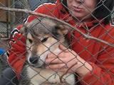 Собаки, щенки Аляскинский маламут, цена 2000 Грн., Фото